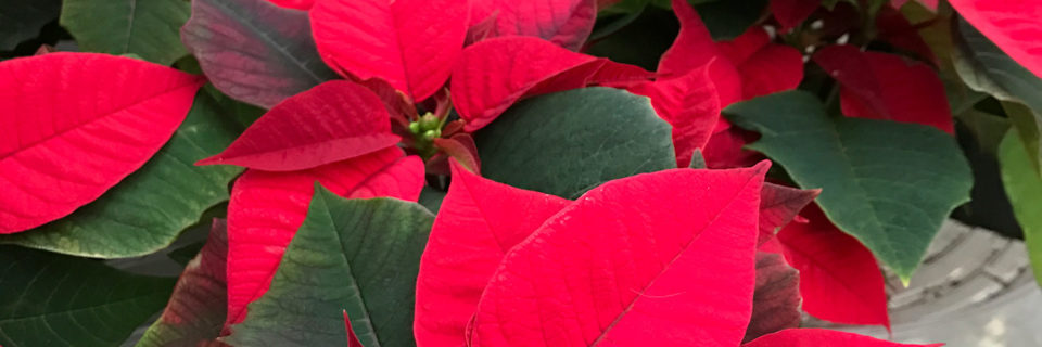 Come In & Get Your Holiday Plants Today!
